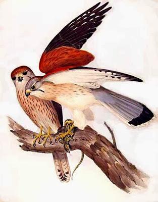 Halcón australiano Falco cenchroides