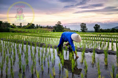 Paddy Cultivation Nepal 2020