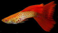 Gambar ikan Guppy jenis Red Lace Snakeskin