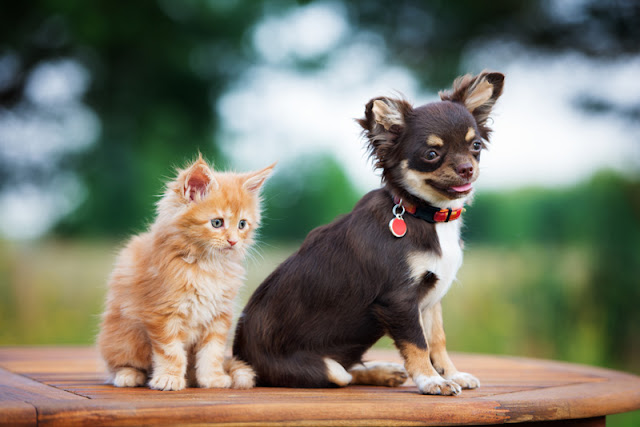 A cute Chihuahua and a ginger kitten sitting on a table