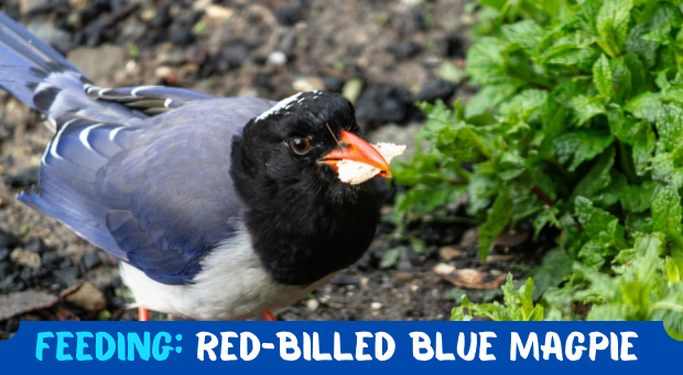 how to Feeding Red-billed Blue Magpie