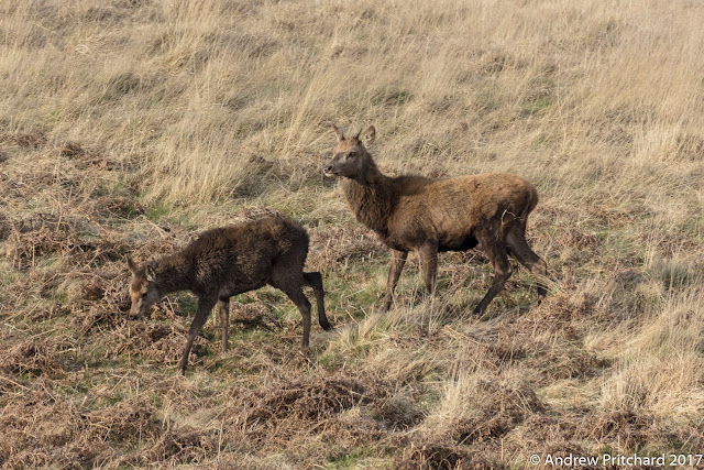 A female calf walking away from undue attention of some kind from a brocket.