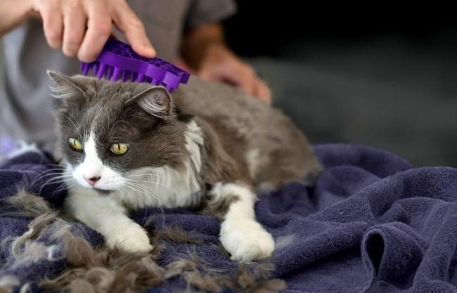 Referensi Obat untuk Kutu Kucing yang Aman