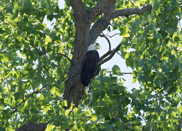 Bald Eagle - Magee Marsh, Ohio, USA