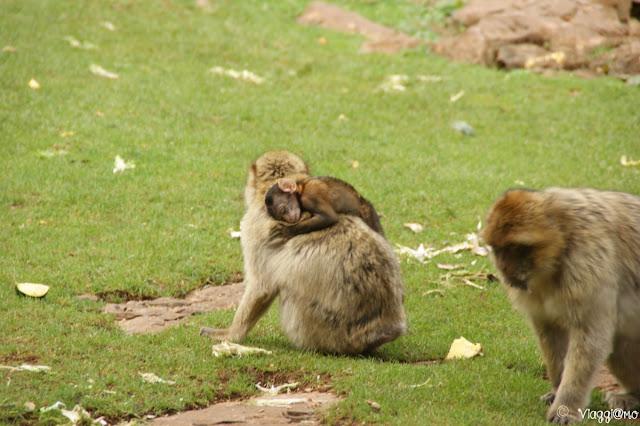 Famigliola di Macachi di Barbarie alla Foresta delle Scimmie di Rocamadour