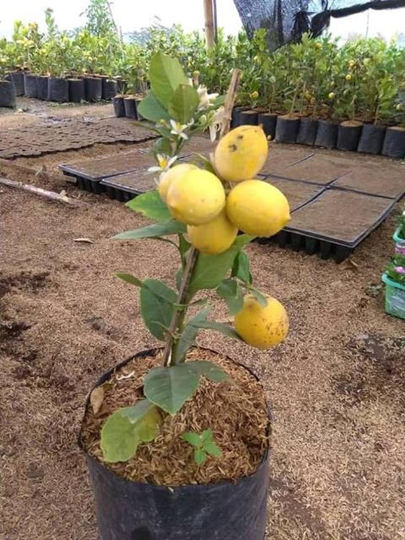 Bibit Pohon Jeruk Lemon Jumbo Kondisi Berbuah Super Murah Bukittinggi