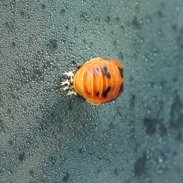 Harlequin ladybird pupa on steamed up car window. 28th August 2020.
