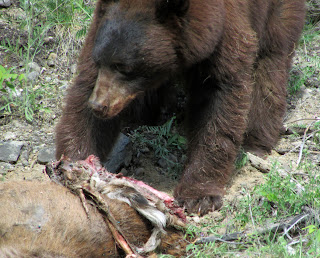Bear Eating