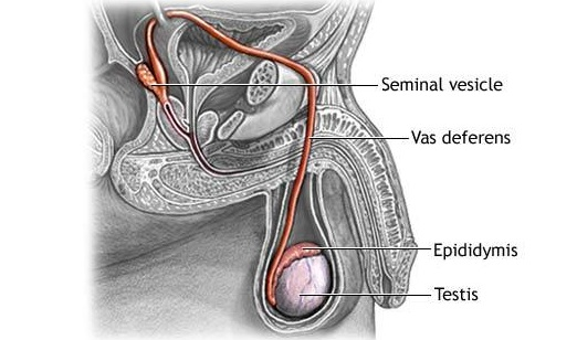 விந்து உற்பத்திக்கு புரோஸ்டேட்டின் முக்கியப் பங்கு | Sperm production is an important part of the prostate !