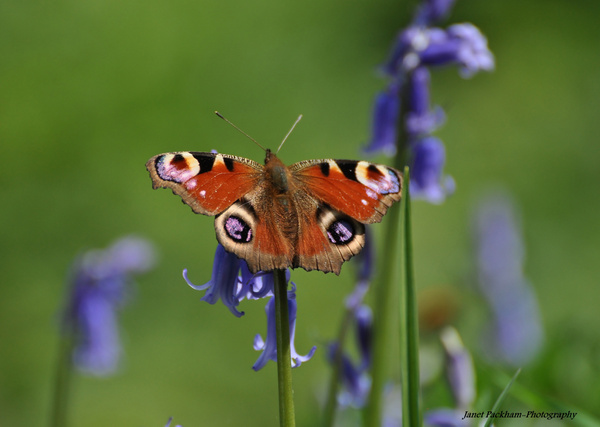 A peacock butterfly settled on a bluebell. Photo copyright Janet Packham (All Rights Reserved)