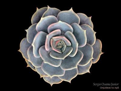 Suculenta Echeveria lilacina