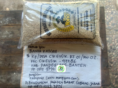 Benih padi yang dibeli    BANDA KAIVAN Pandeglang, Banten.  (Sebelum packing karung ).