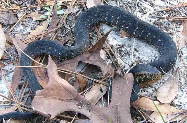8331af326 Photo Courtesy of Daniel D. Dye. Florida Backyard Snakes