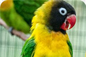 13 Cara Ampuh Lovebird Konslet Suara Gacor
