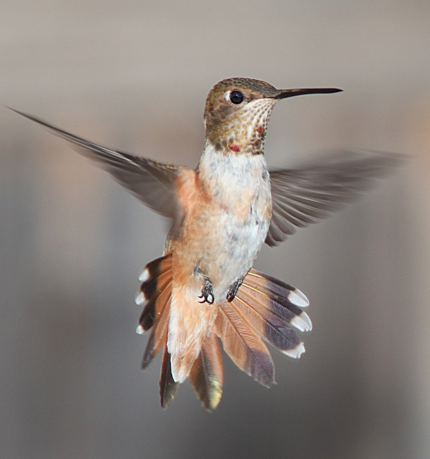 Picture of a humming bird in flight.