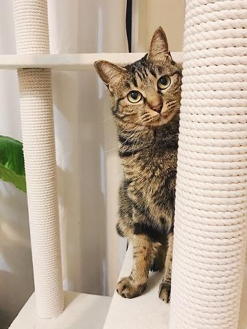 キャットタワーの支柱の裏からこっちを見ているキジトラ猫