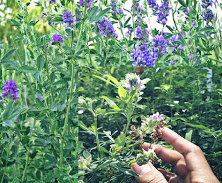 Rumput alfalfa untuk makan kelinci