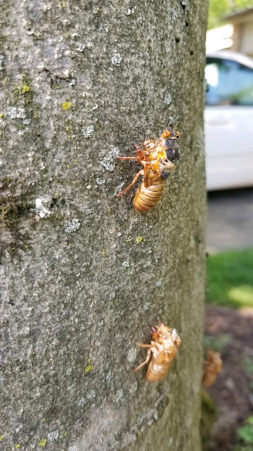 Brood X Cicacas emerging in Potomac, Maryland