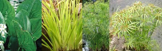 Pond Bog Plants for Veggie Plant Filter
