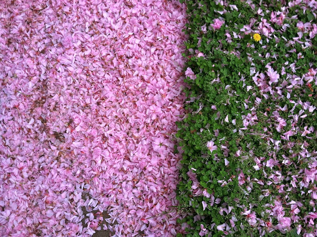 Cherry-Blossom-Litter-with-Clover-Spring-2013