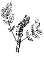 Acacia coloring pages