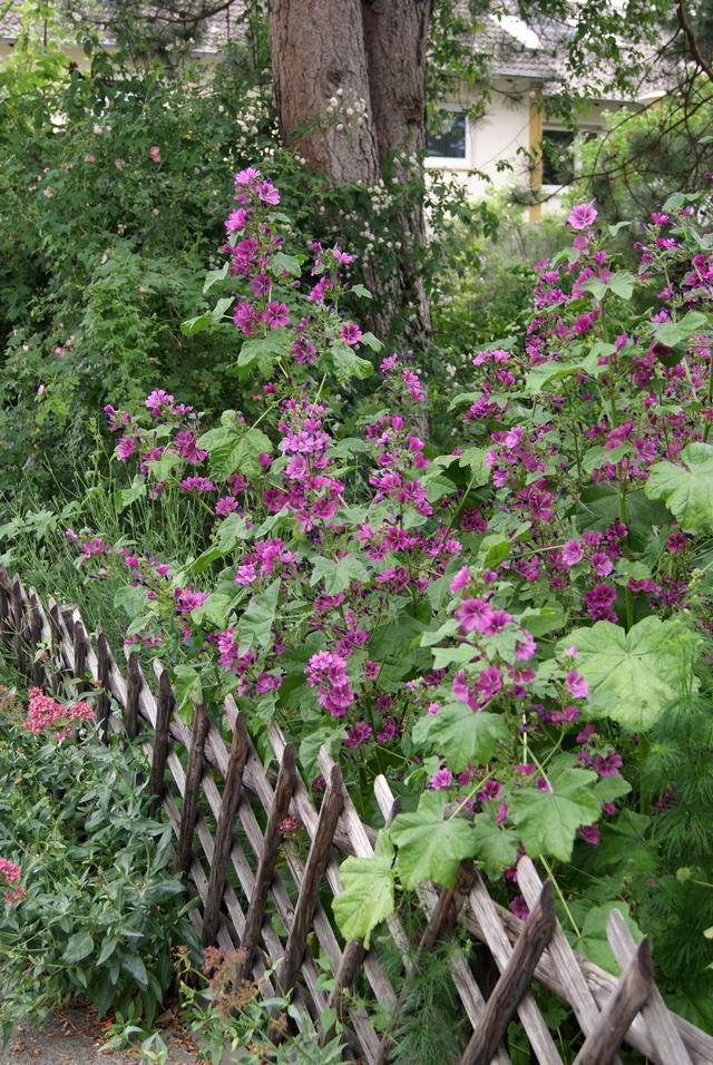 Malvenblüte im Juni