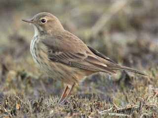 American Pipit - Rock Lake, Algonquin Provincial Park, ON Photo by Jonathan Hormung (assumed)