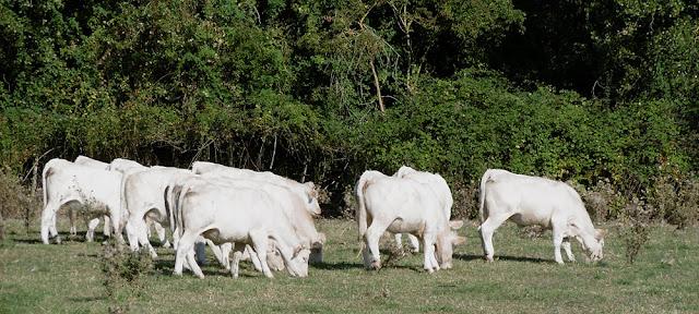 Charolais cattle. Indre et Loire. France. Photo by Loire Valley Time Travel.