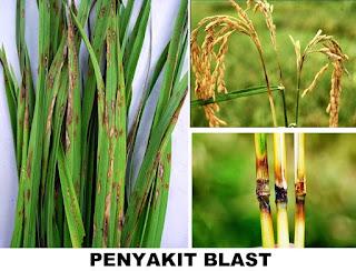 Hama Blas tanaman padi