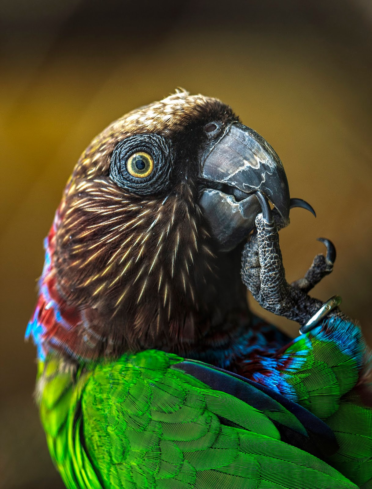Papagaio Anacã (Deroptyus accipitrinus)