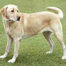 Labrador Retriever Most Popular Dog In America, Florida Cities Differ