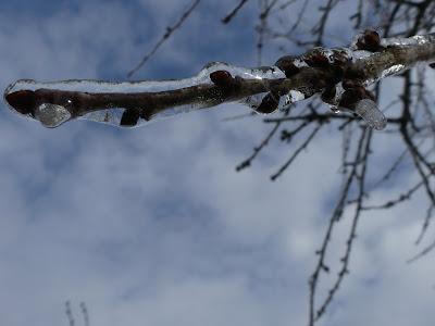 photo d'une branche d'arbre gelée
