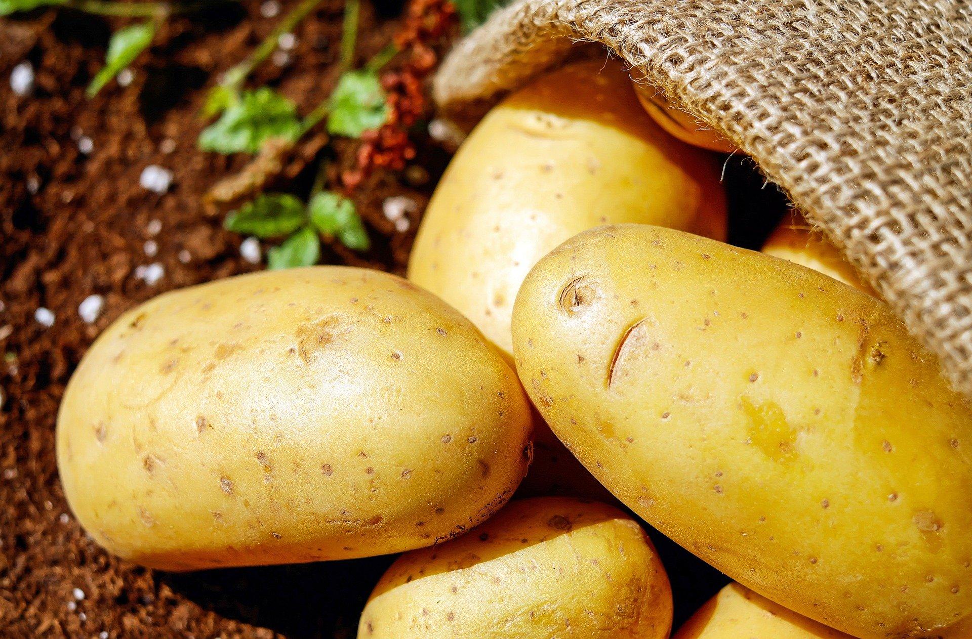 Ile ziemniaków uprawia się w Polsce? Produkcja ziemniaków w Polsce, statystyki zbiorów ziemniaków