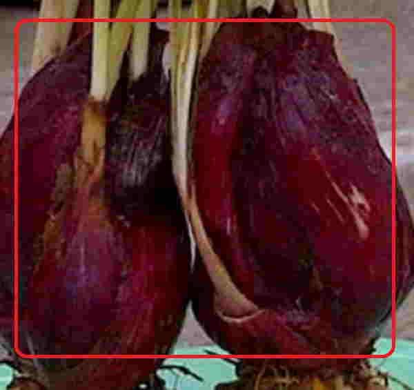 Bawang dayak bisa mengobati penyakit apa saja