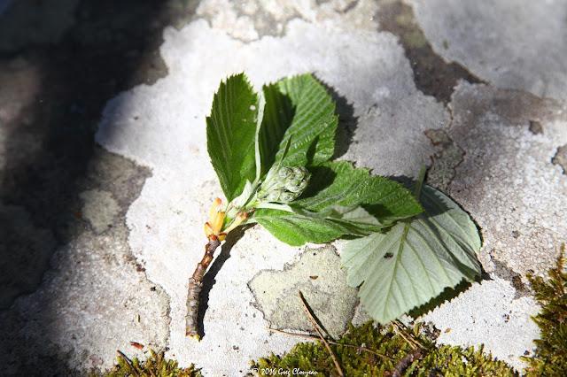 Alisier de Fontainebleau ou Alisier blanc, Cuvier, (C) 2016 Greg Clouzeau