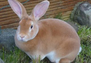 kelinci australia coklat