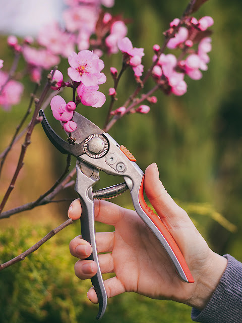 A Gardeners Pruning Cherry Trees