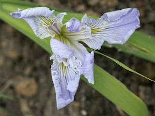 "Iris de Louisiane - Iris Louisiana ""Rich and Famous"""