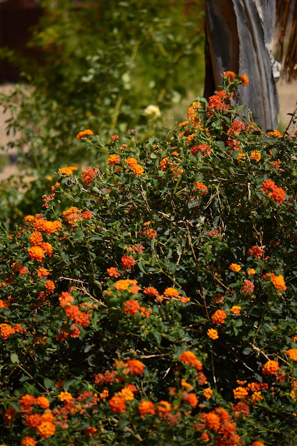 lantana, small sunny garden, garden bloggers bloom day, amy myers, desert garden
