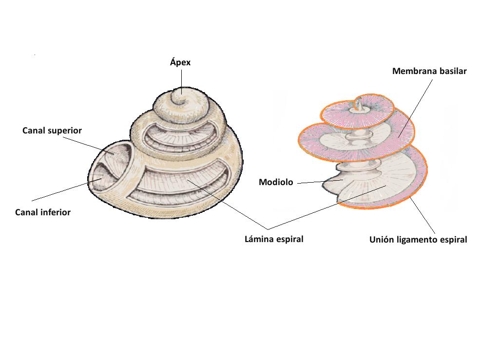 Figura 3. Ilustración del aspecto general de la cóclea.