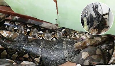 King kobra muntahkan kadal monitor