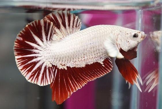 Ikan Cupang Dragon - Ikanhiasku