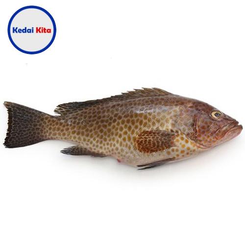 Ikan Kerapu 500 Gram