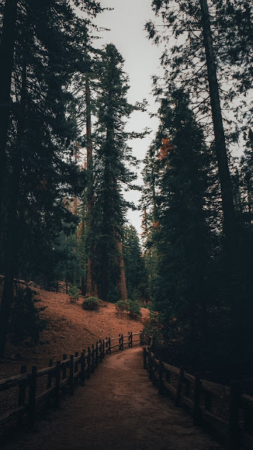 HD wallpaper path, pines, forest, nature
