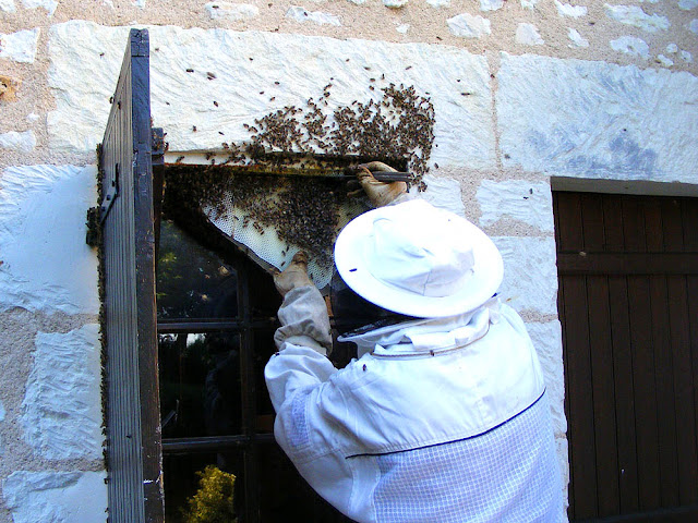 Carefully cutting honeycomb away whilst rescuing a feral honey bee colony, Indre et Loire, France. Photo by Loire Valley Time Travel.