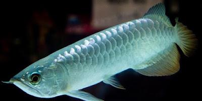 Arwana silver 10-12 ikan hias air tawar
