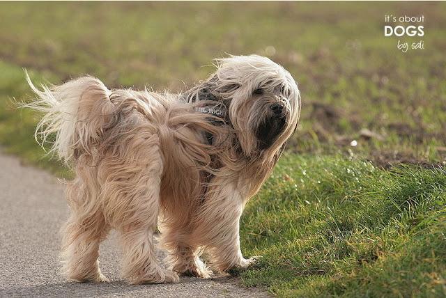 Mein Tibet Terrier Chiru ist bei liebevollen Züchtern groß gezogen worden.