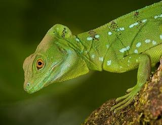 Jenis Iguana lemanctus