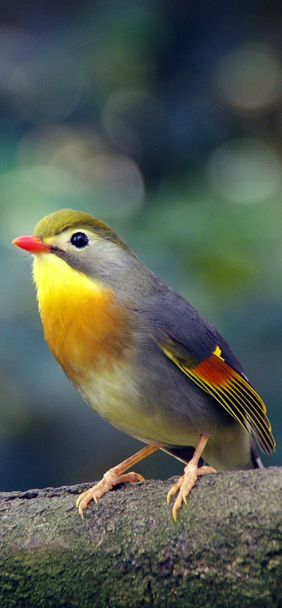 Red-billed leiothrix.