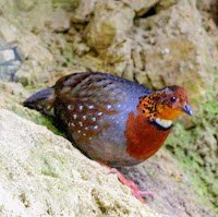 Chestnut-breasted partridge (Arborophila mandellii)